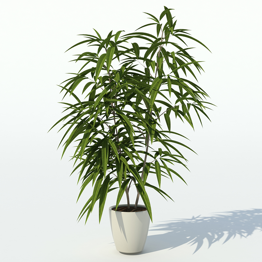 Фикус Али (лат. Ficus Alii)