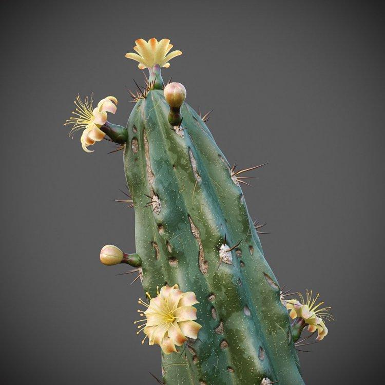 myrtillocactus_g 11.jpg