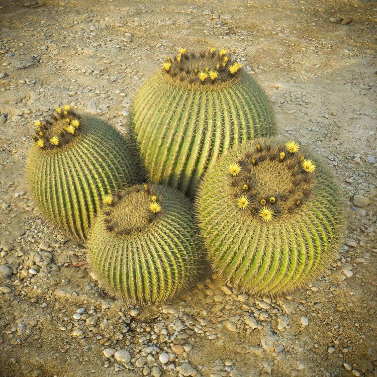 Echinocactus_g_10.thumb.jpg.8833d136a9ade05b0a34bc2898f63082.jpg