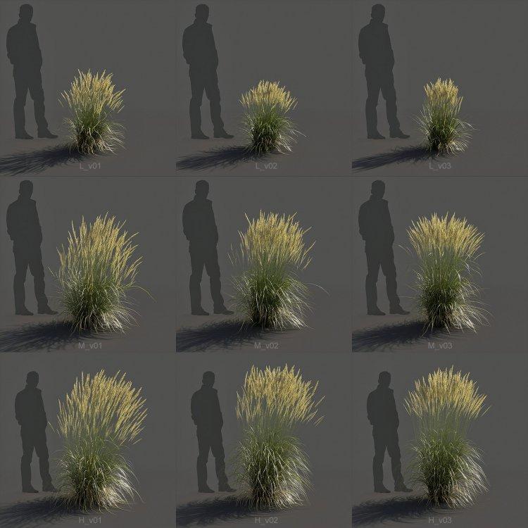 Feather_Reed_Grass_Calamagrostis_acutiflora.jpg